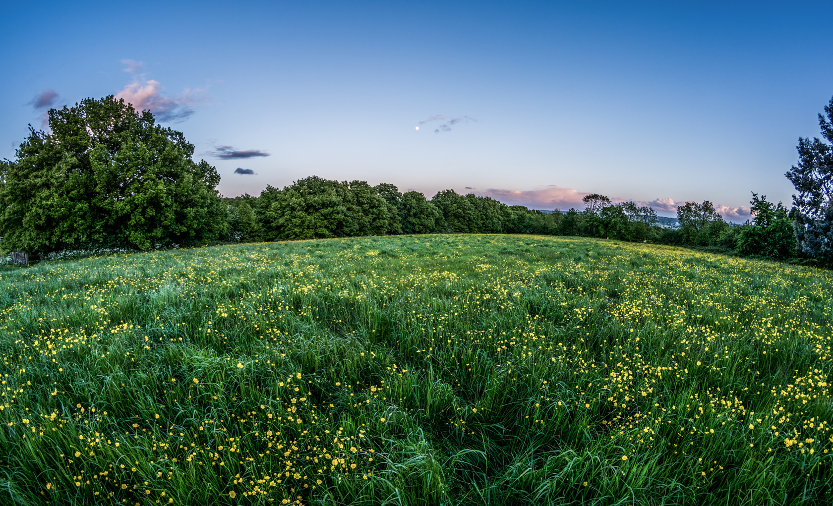 daffodils, rawdon (ref av 28) 